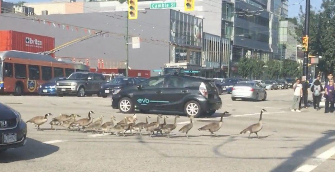 Flock of geese stop Vancouver traffic to cross the street