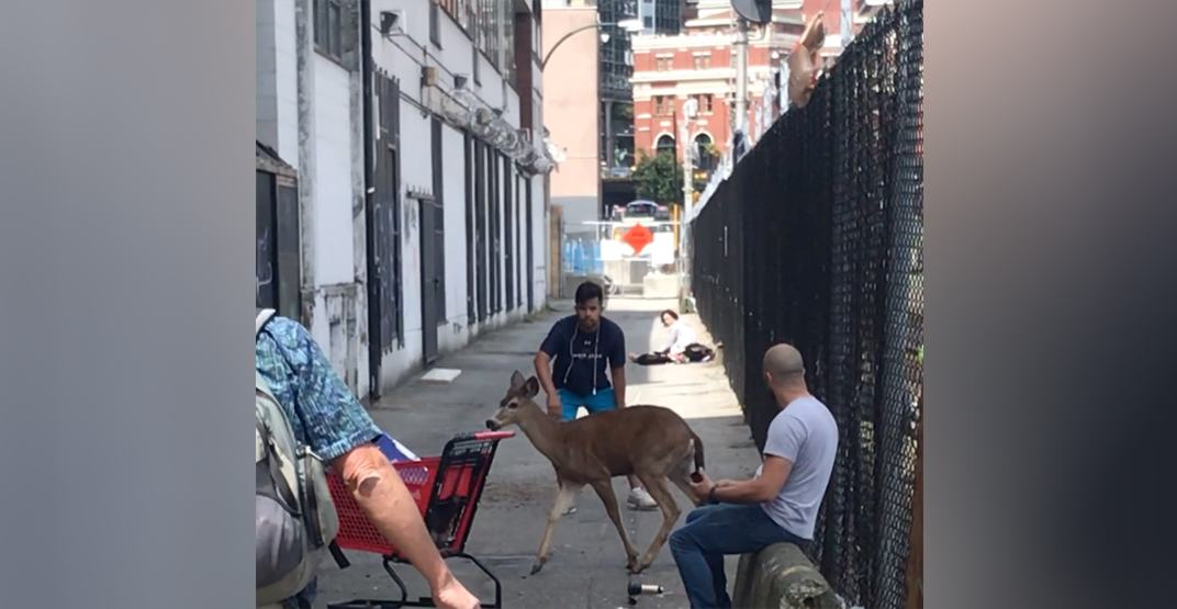 Deer spotted running through traffic in downtown Vancouver (PHOTOS, VIDEO)