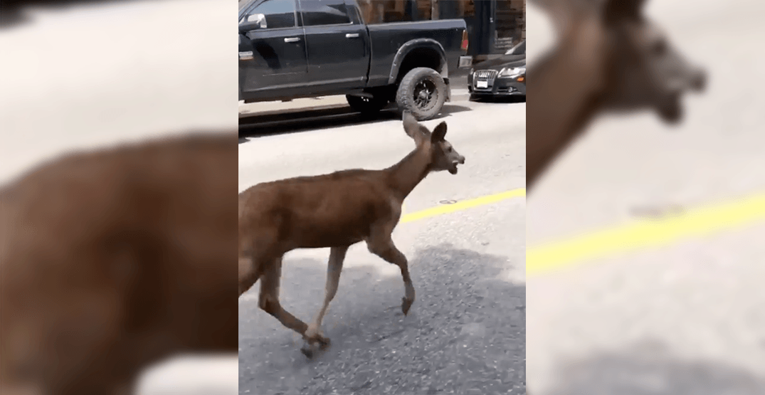 Deer on the loose in downtown Vancouver safely captured and relocated