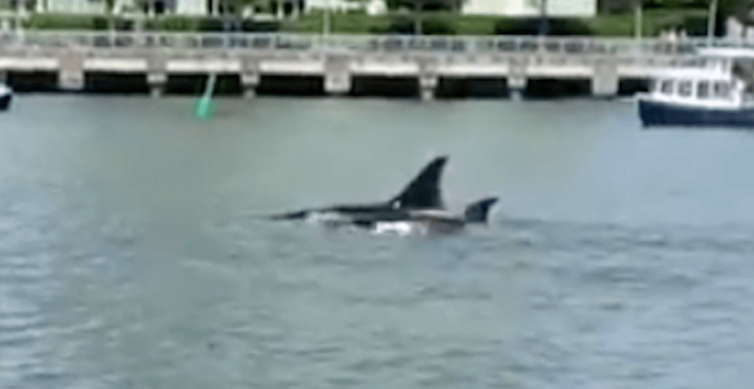 Pod of orcas spotted in False Creek on Wednesday (VIDEO)