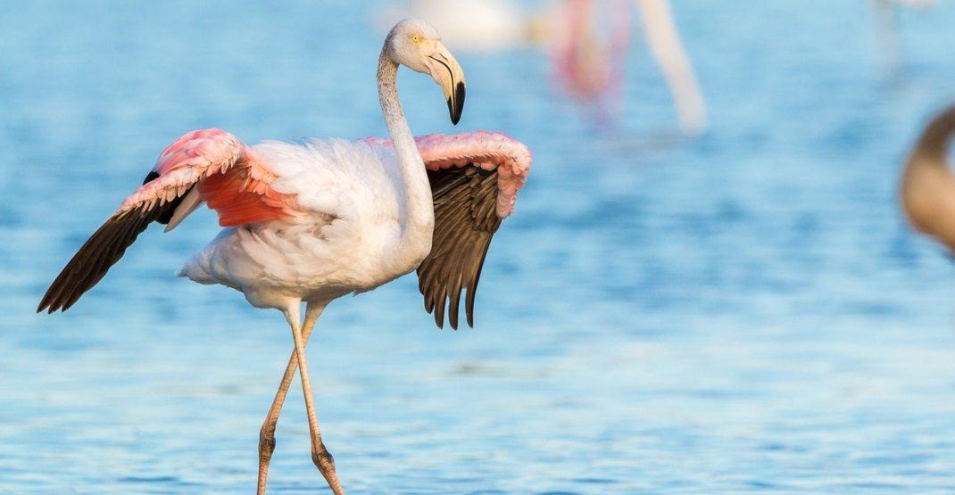 Fugitive flamingo has been fleeing across the USA for 14 years