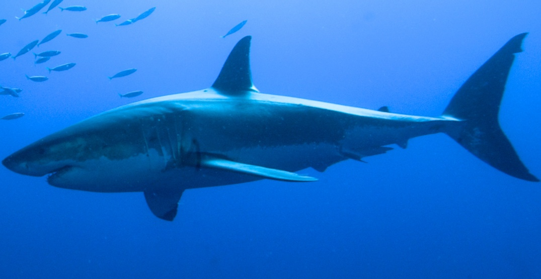 Canada just officially banned the import of shark fins
