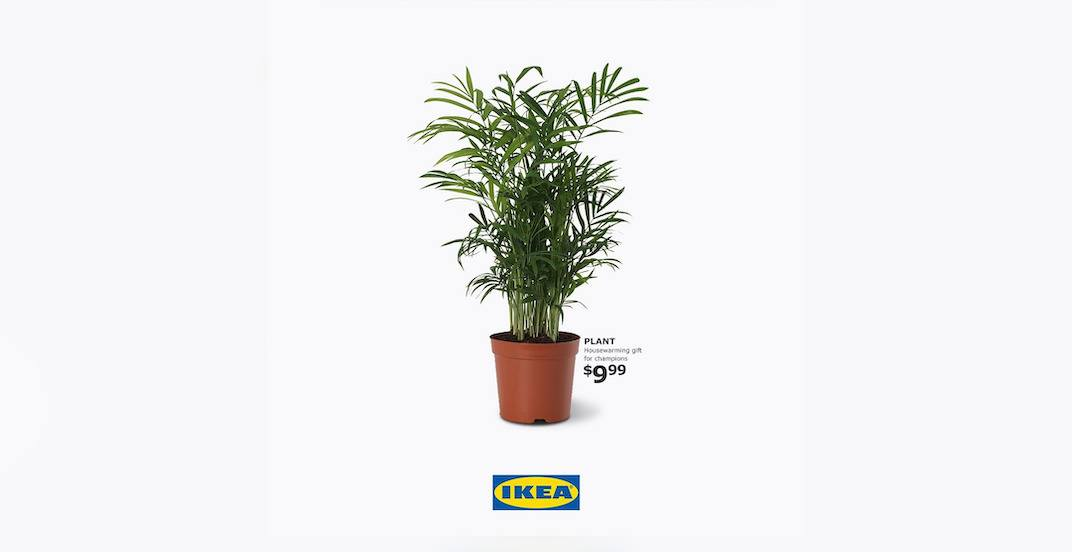 Ikea Canada now selling a housewarming plant 'fit for a fun champion'