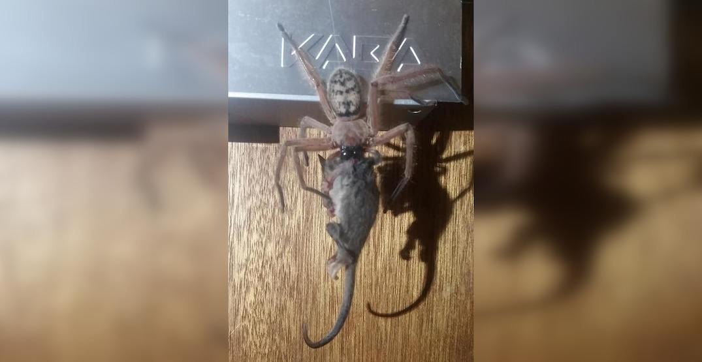 Spider captured feasting on possum in Tasmania (PHOTO)