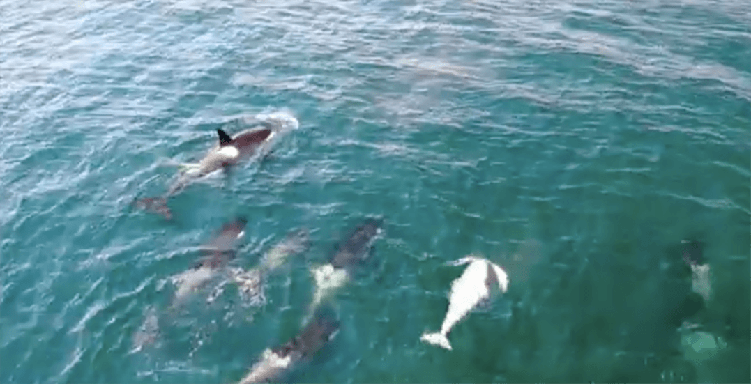 Drone captures stunning footage of BC's rare white orca (VIDEO)