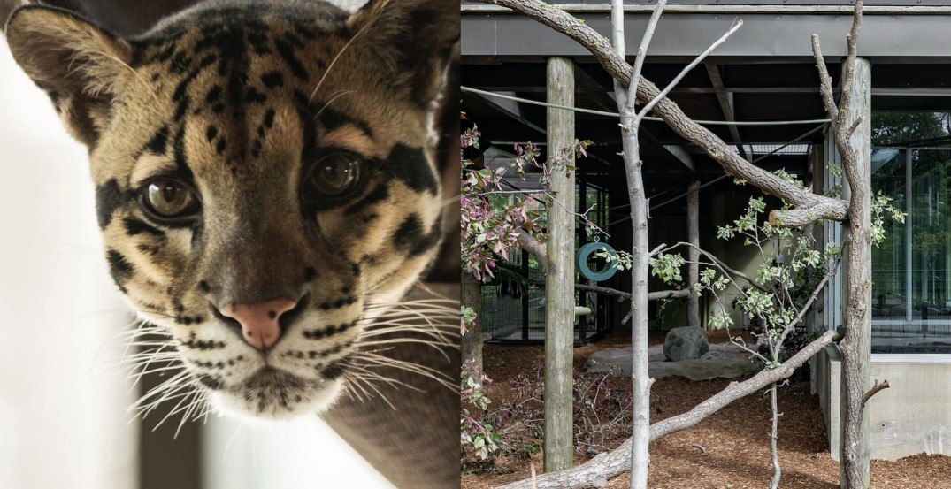 The leopards at the Toronto Zoo just became Airbnb hosts
