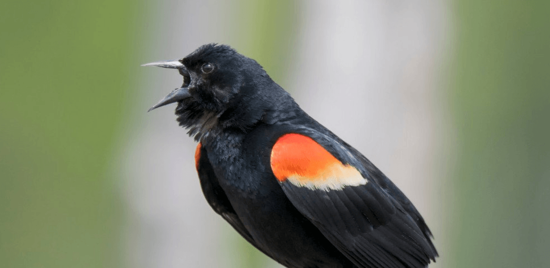 There's a red wing blackbird attacking people in Liberty Village (VIDEOS)