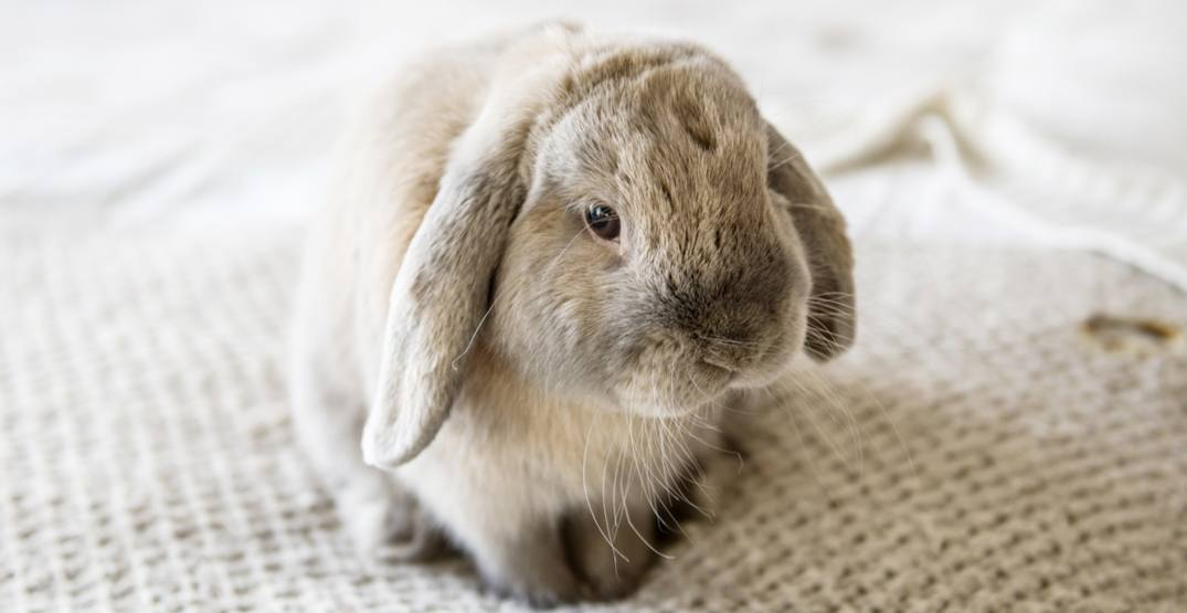 'Several' pet rabbits dead in Vancouver apartment building after disease outbreak
