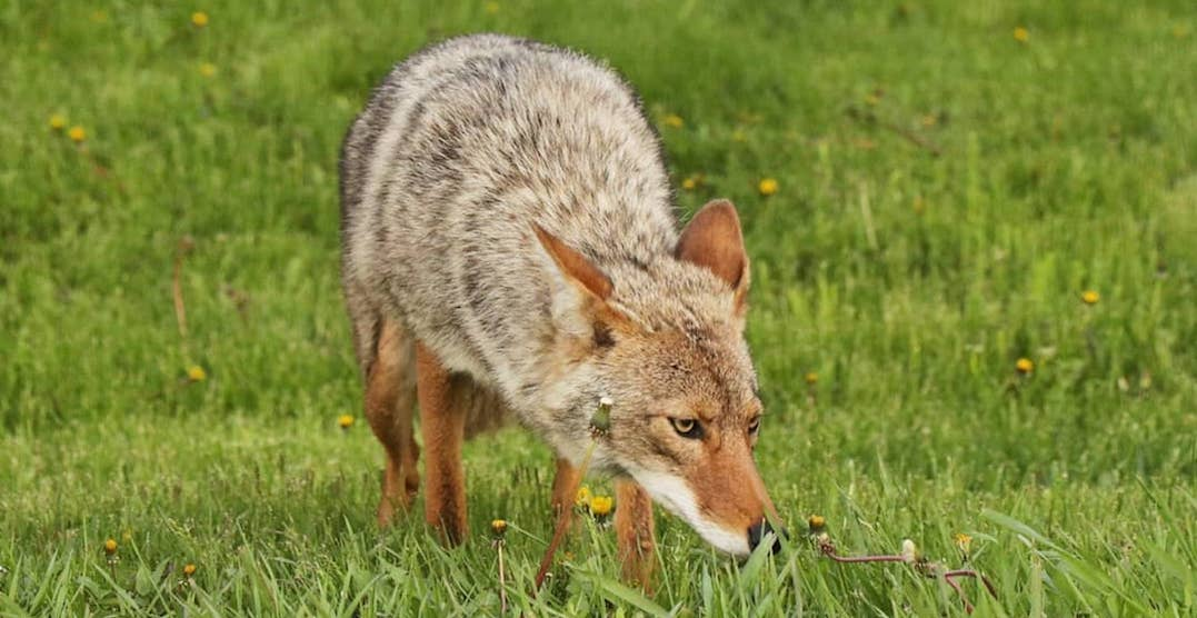 Public Safety Alert issued after 8-year-old boy possibly bit by a coyote in Toronto