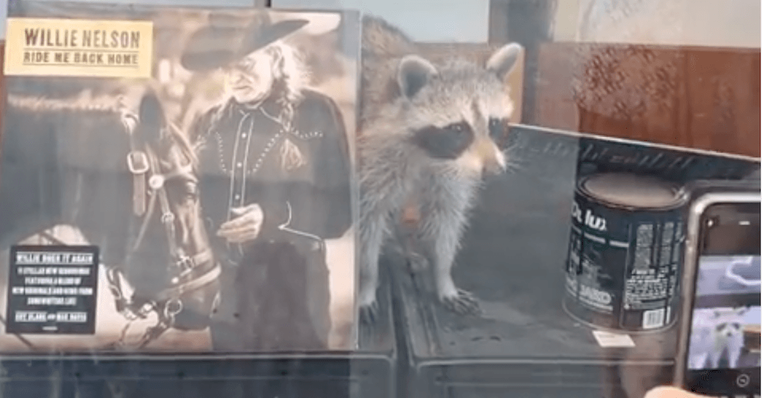 Curious raccoon spotted inside Toronto record store (VIDEO