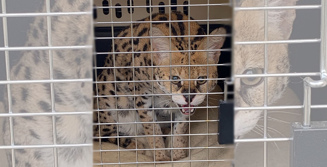 13 rare African serval cats seized from breeder in cruelty investigation
