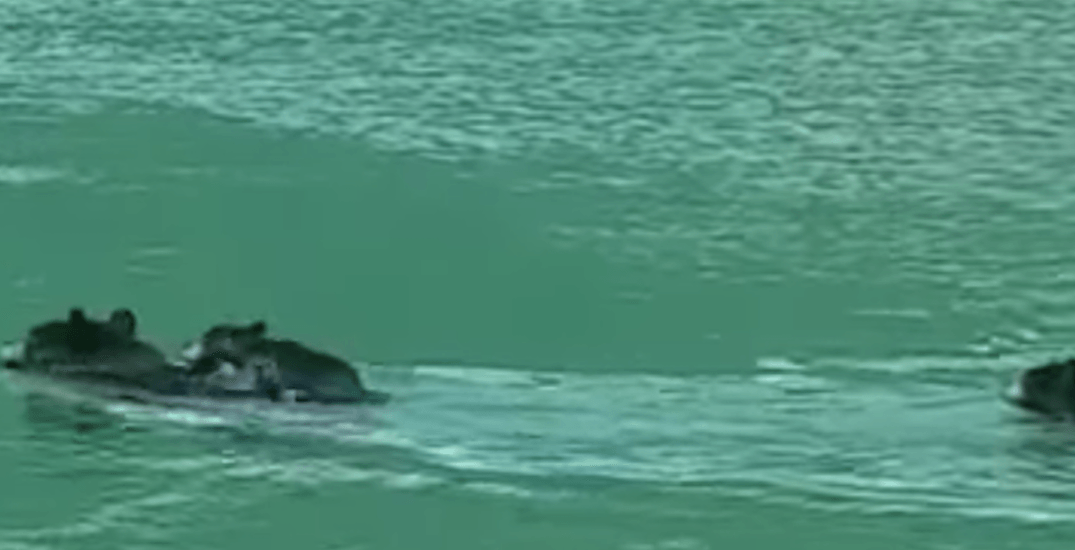 Watch this mother bear save her cub from drowning at a BC lake (VIDEO)