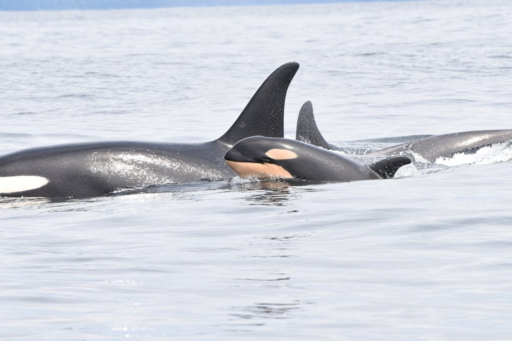 Killer whales from all 3 endangered pods spotted off Vancouver Island