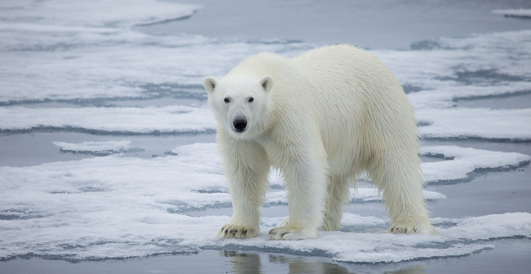 How to help polar bears and make a difference on Arctic Sea Ice Day