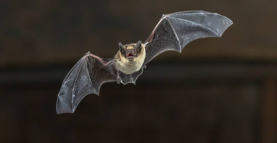 BC man dies from rabies after coming into contact with bat