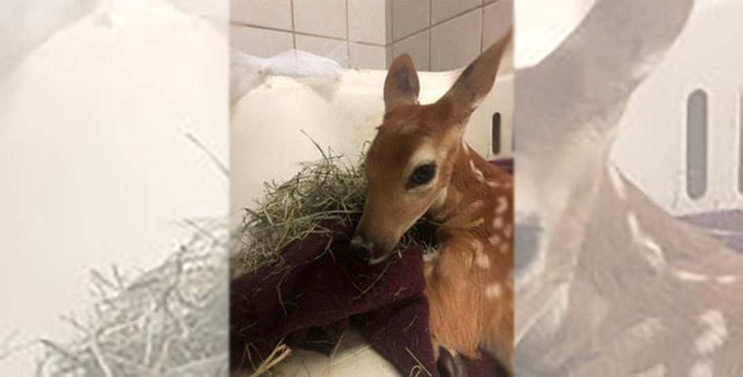 Vet forced to euthanize baby deer after Canada-wide search for sanctuary fails