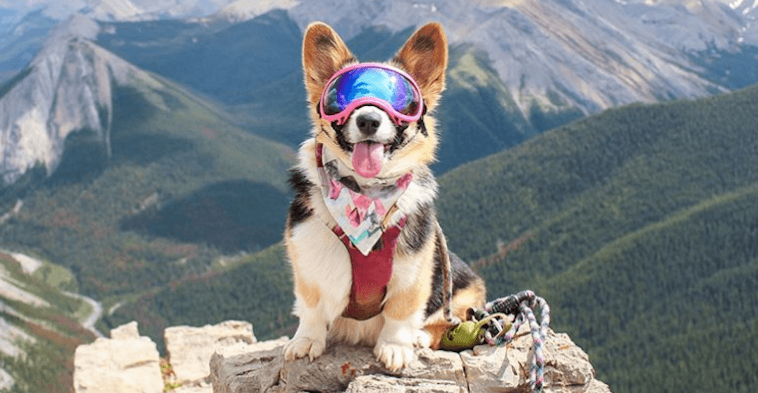 Here's what Calgary's most adventurous corgi has been up to (PHOTOS)
