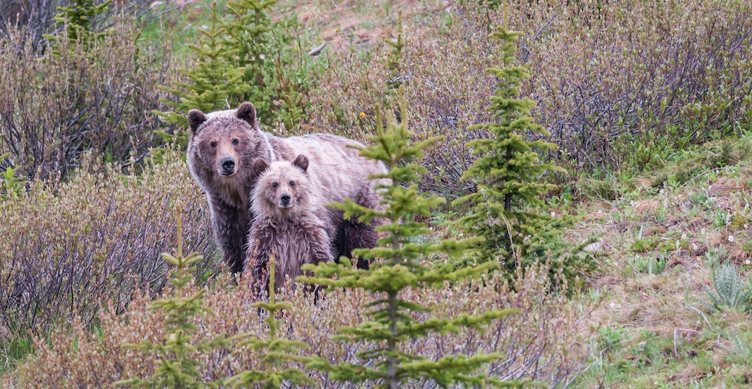 Grizzly bear's bluff charge prompts closure of area in Kananaskis Country