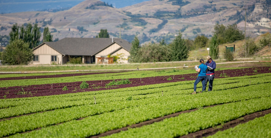 National lettuce company now growing produce in the Okanagan Valley