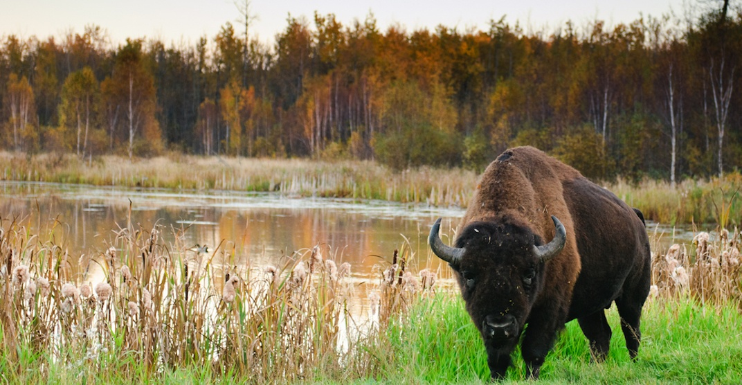 Awesome Alberta: Commune with nature at Elk Island National Park