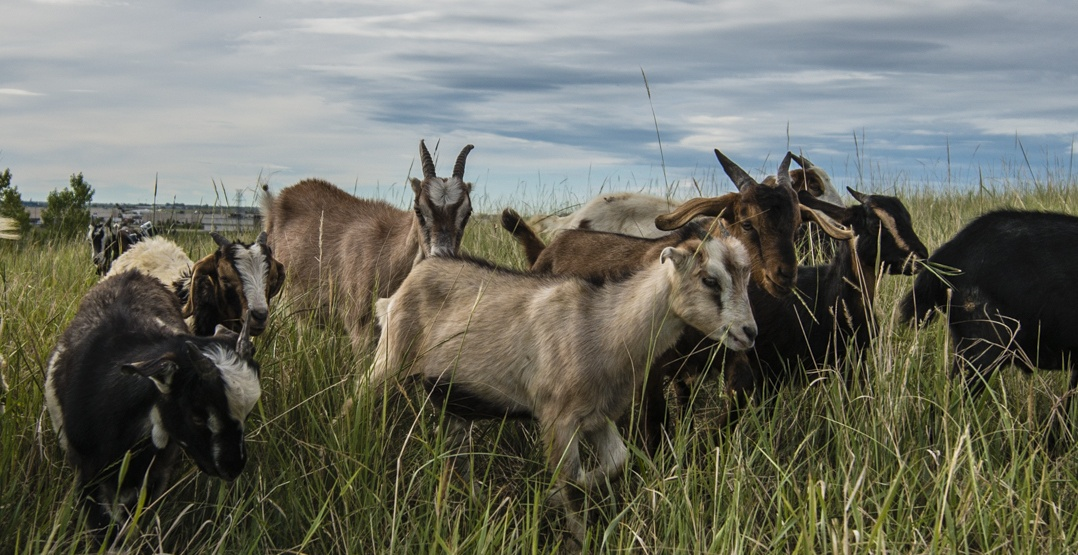 The goats are baa-ck again this August at McHugh Bluff