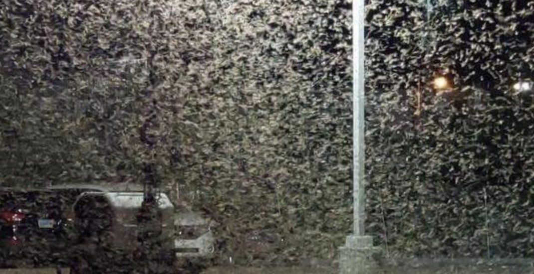 Massive swarms of grasshoppers are currently taking over Las Vegas (VIDEO)