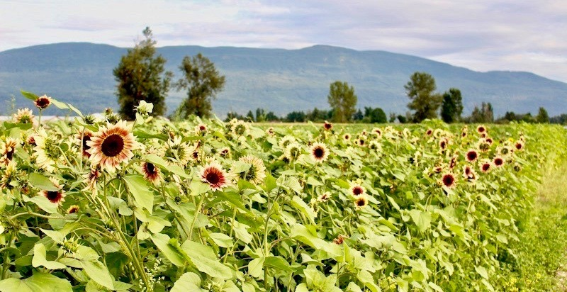 Chilliwack Sunflower Festival opens its doors tomorrow (PHOTOS)