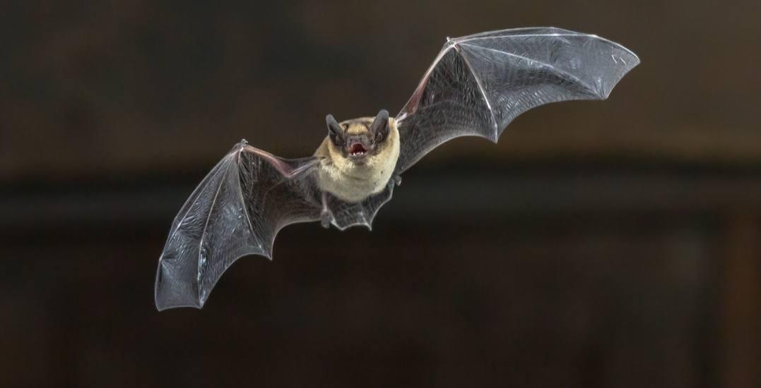 Toronto Public Health confirms first rabid bat since 2016 found in Toronto