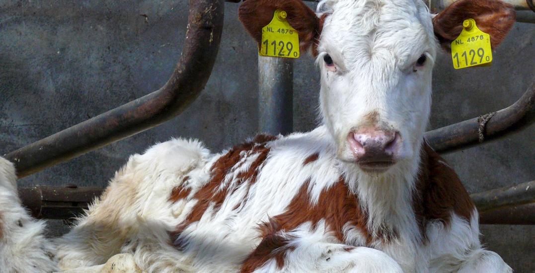 Cow on farm / Shutterstock
