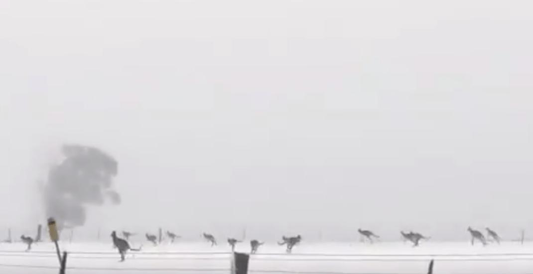 Pack of kangaroos brave snowy weather in Australia (VIDEO)