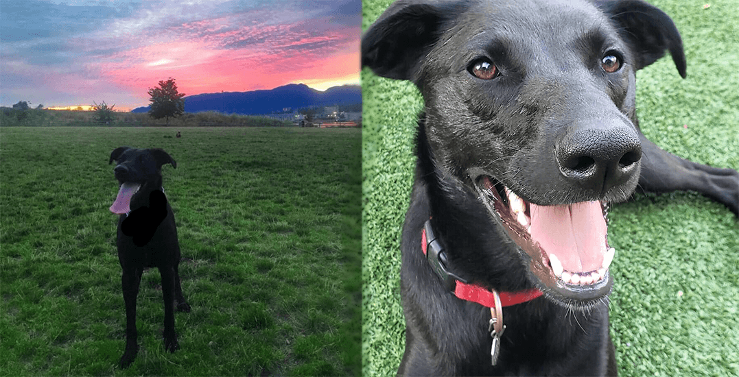 Adopt Me: This young Labrador cross would be a great hiking buddy