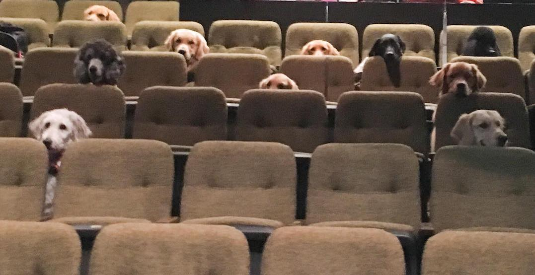 Canadian service dogs watch Billy Elliot the Musical as part of training