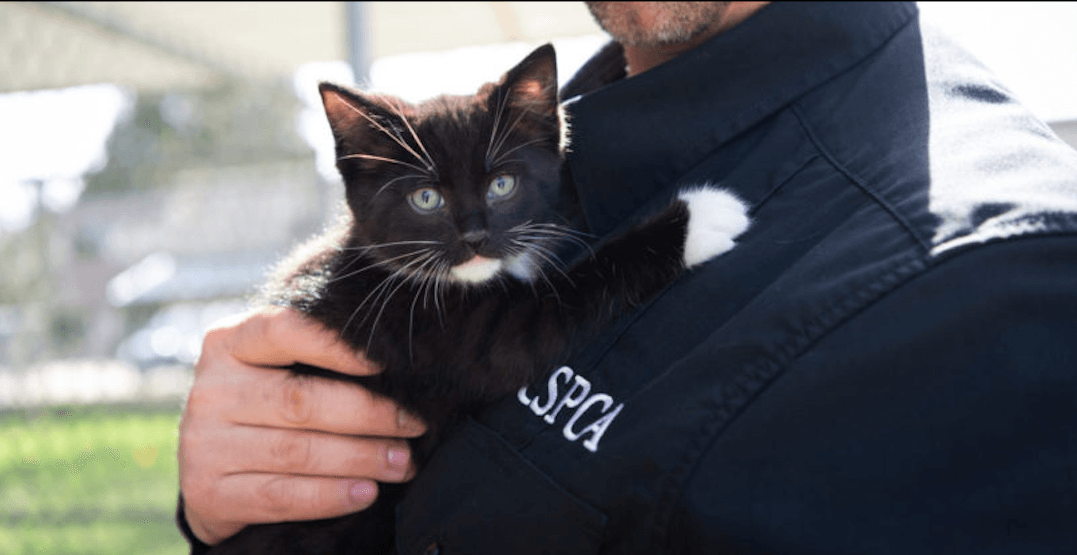 "BC SPCA shelters ""overwhelmed"" by cats needing forever homes"