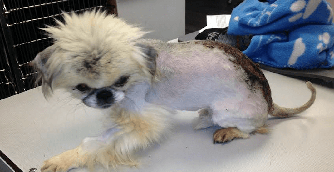 """Tiny Pekingese pup has """"suffered immensely"""": BC SPCA"""
