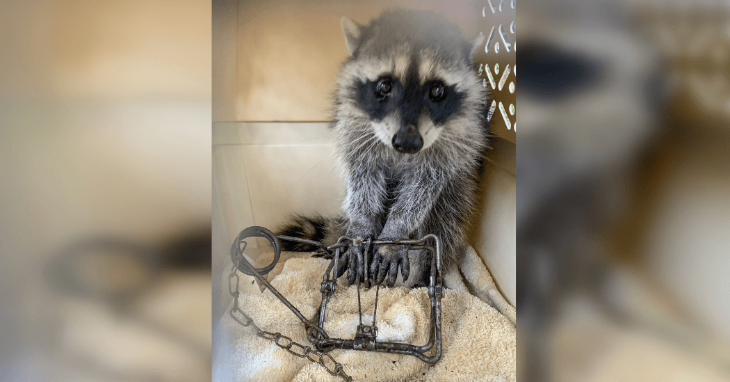 "Pet owners warned after two raccoons found ""crushed"" in traps"
