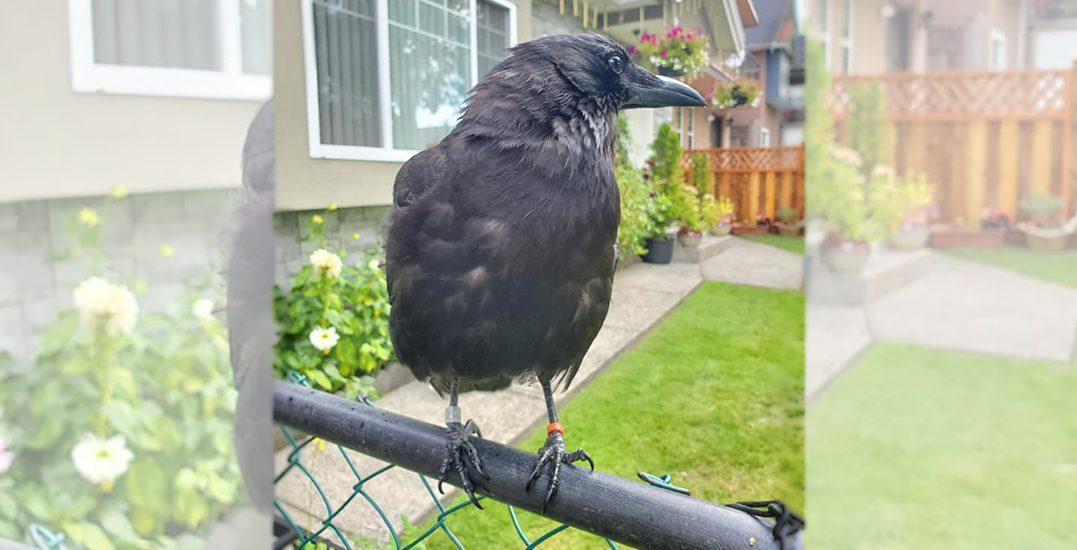 $10k reward offered for safe return of Canuck the Crow