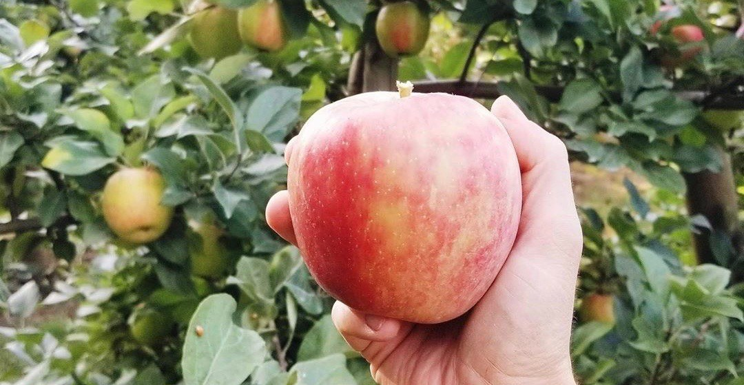Where to go apple picking near Vancouver