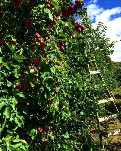 apple picking Montreal