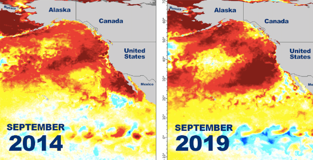 A marine heat wave similar to 'The Blob' has returned off the BC coast