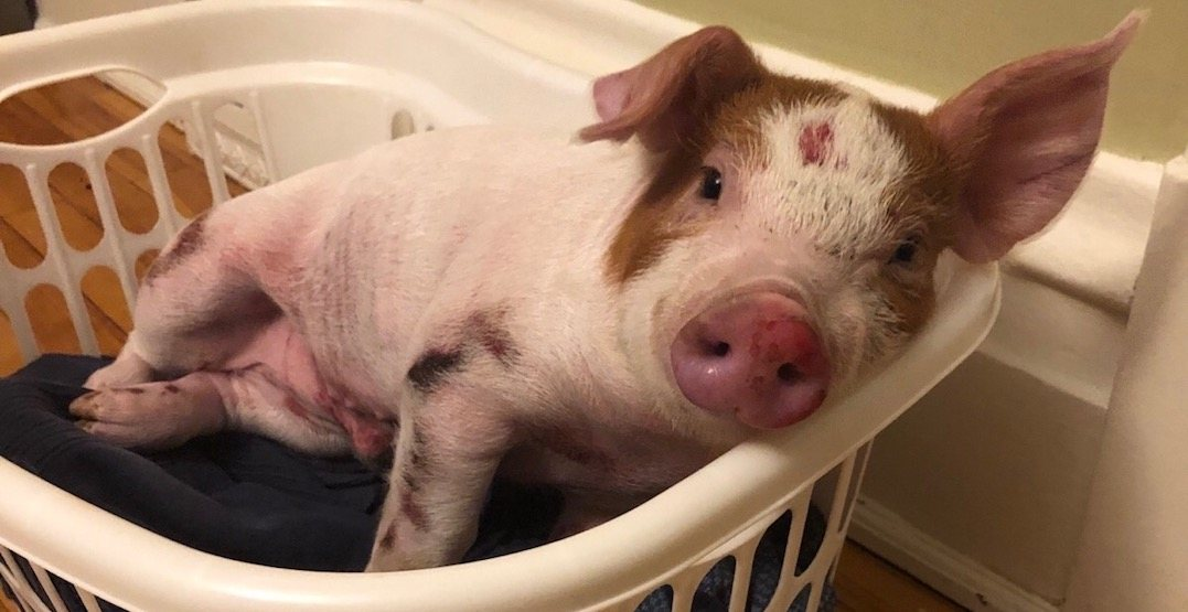 Injured piglet found on Ontario highway gets fundraising campaign (PHOTOS)
