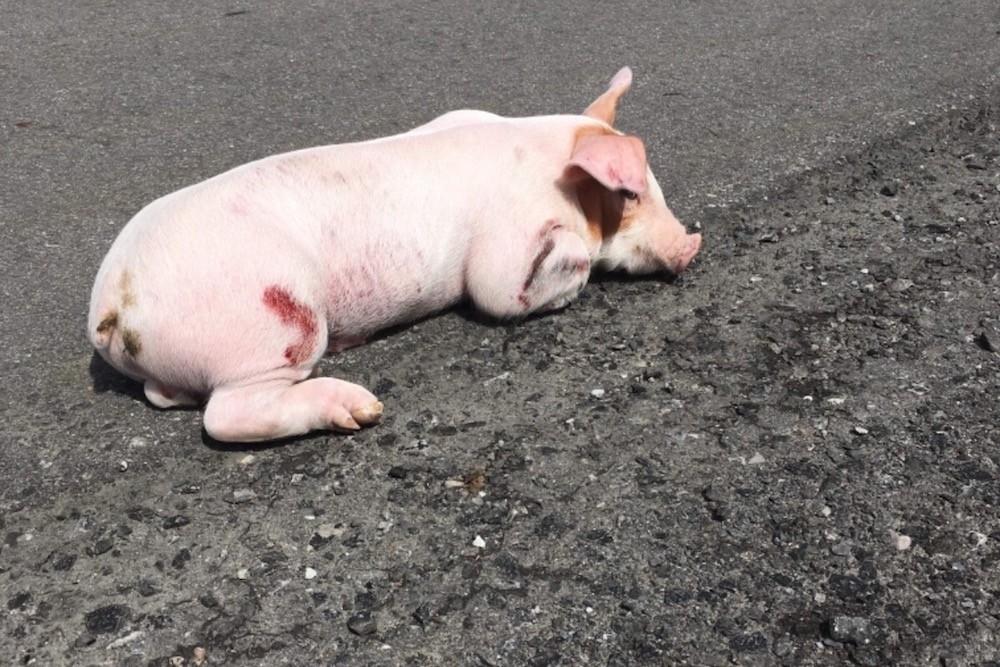 Injured piglet found on Ontario highway gets fundraising