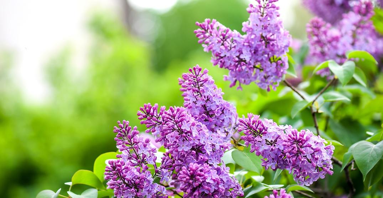 Lilac bushes / Shutterstock