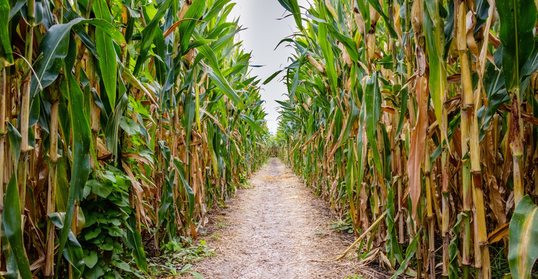 16-year-old girl sexually assaulted at Halloween corn maze: Police