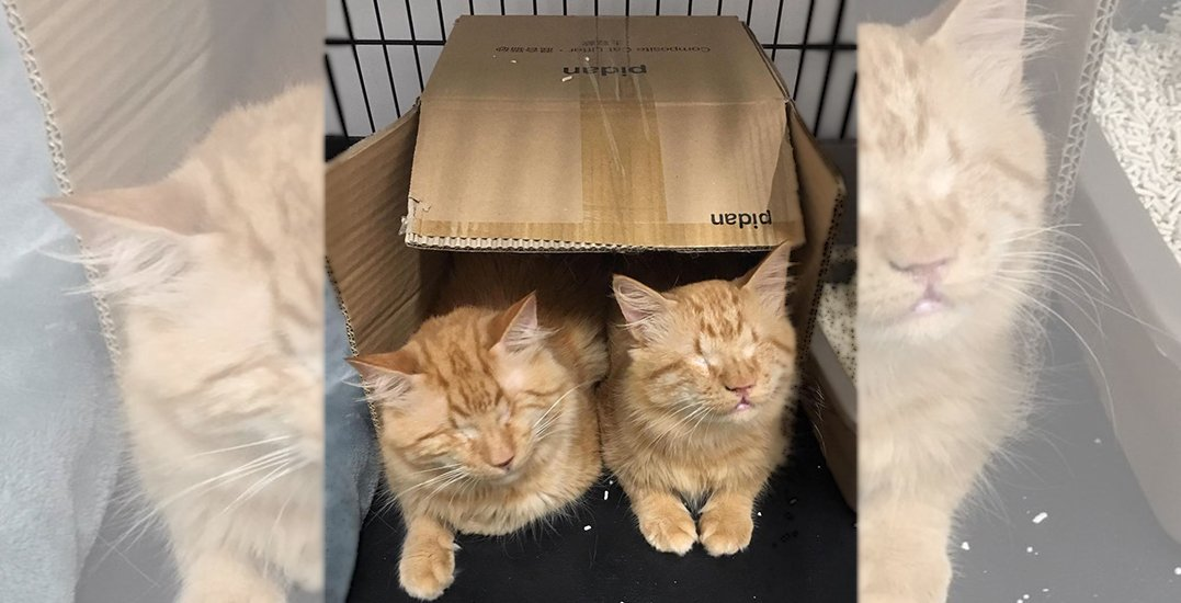 Adopt Me: Blind brothers Stevie and Wonder at Vancouver's cat cafe