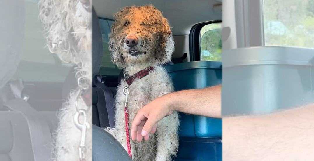 Dog lost in BC for 3 weeks lured back to owners by cheeseburger