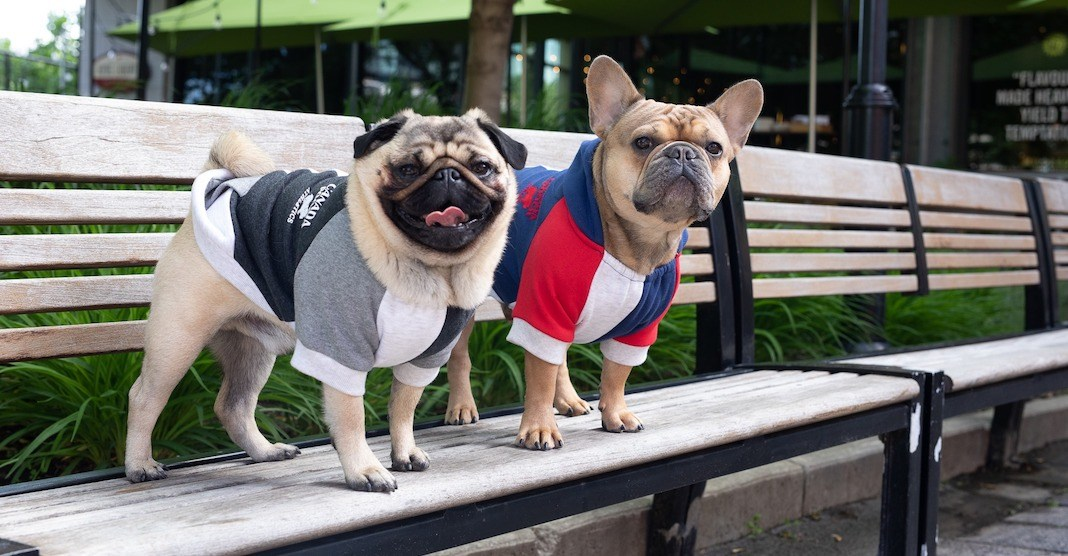 There's an adorable pug meet-up in Toronto this weekend (PHOTOS)