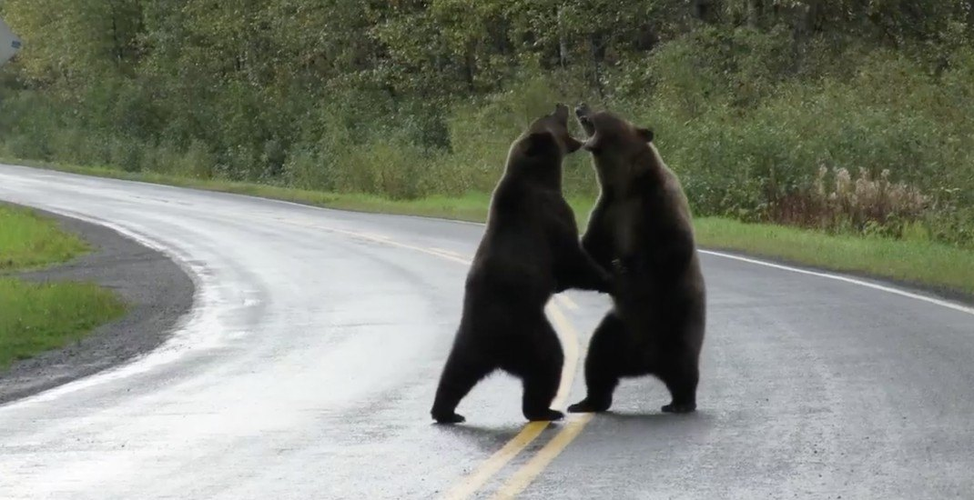 Grizzly bears spotted fighting in northern BC (VIDEO)