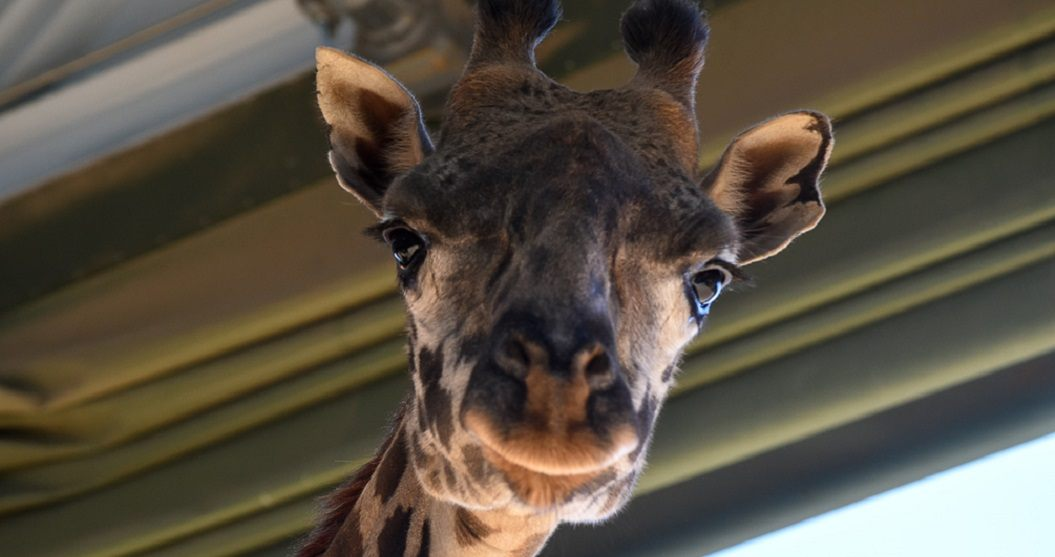 Pregnant giraffe at Calgary Zoo first ever on progesterone supplements