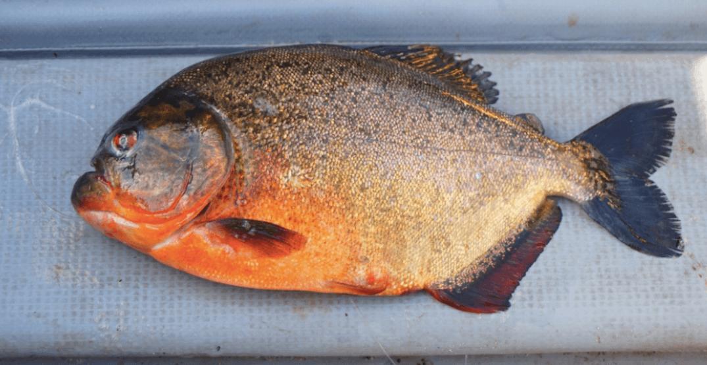 An angler caught this piranha at a BC lake