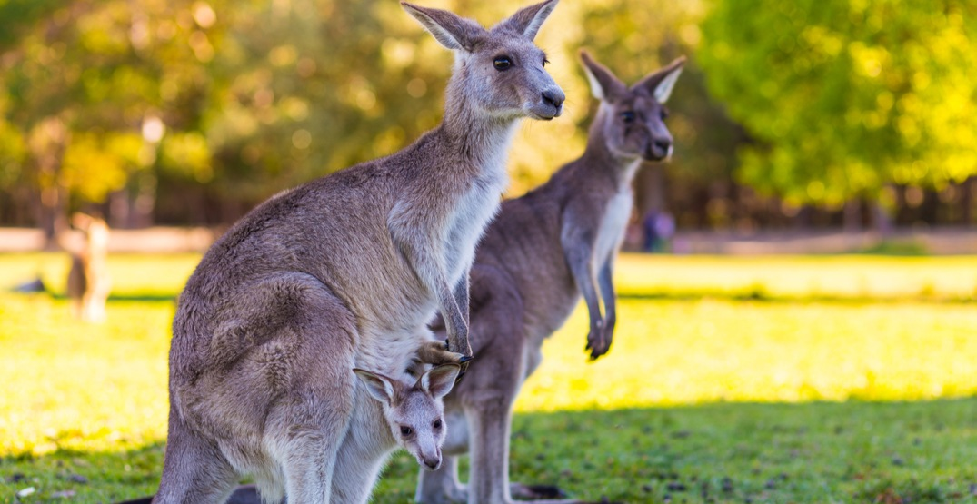 Hit-and-run incident kills up to 20 kangaroos in Australia